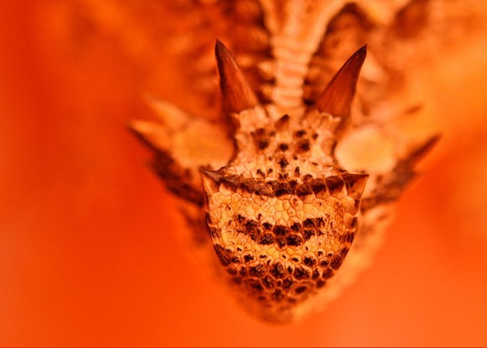 Horny Toad Greeting Card featuring the photograph Horny Toad by Carmen Cuevas de Marquez