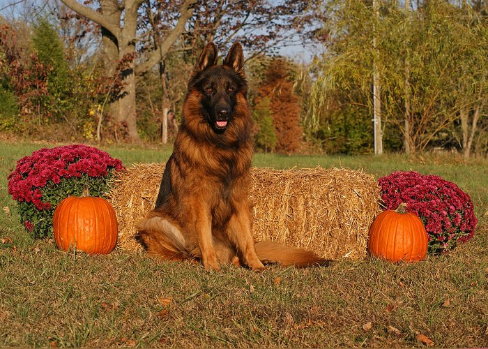 German Shepherd Greeting Card featuring the photograph Hoss In Autumn II by Sandy Keeton