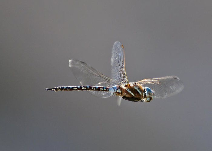 Dragon Fly Greeting Card featuring the photograph Hover by Dennis Hofelich