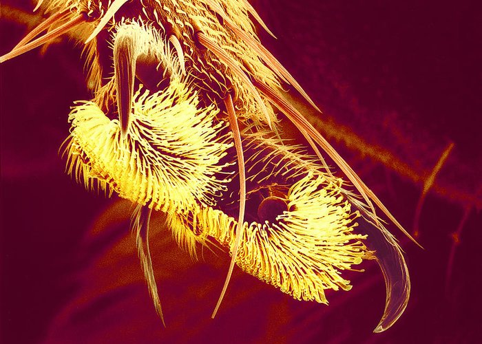 Hover Fly Greeting Card featuring the photograph Hover Fly Foot, Sem by Susumu Nishinaga
