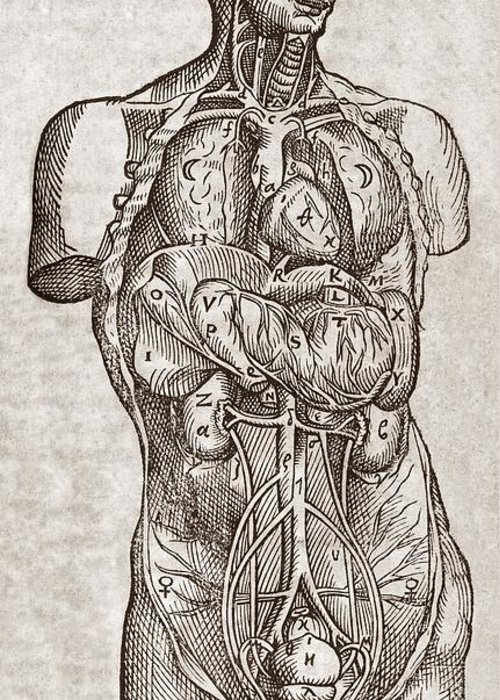1500s Greeting Card featuring the photograph Human Male Torso, 16th Century by Middle Temple Library