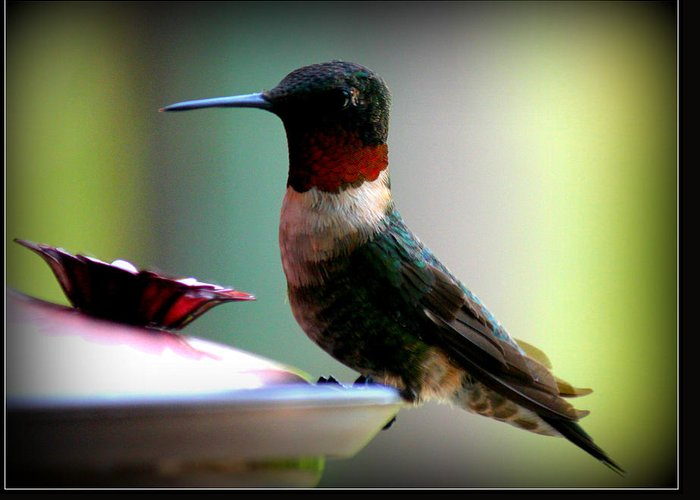 Nature Greeting Card featuring the photograph Hummingbird-male by Katie OKeefe