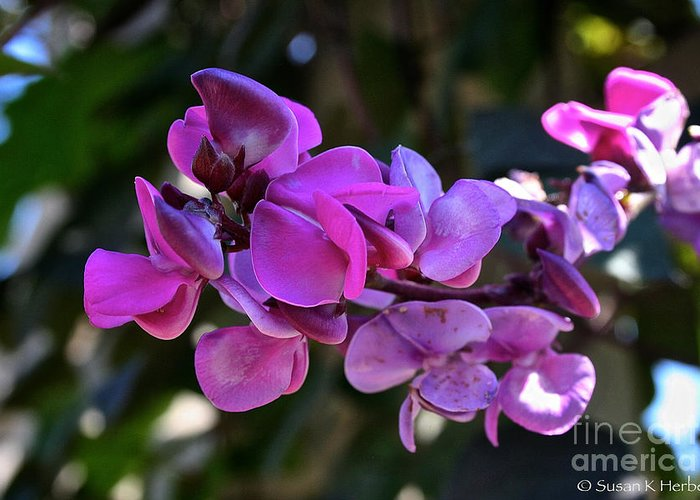 Outdoors Greeting Card featuring the photograph Hyacinth Bean by Susan Herber