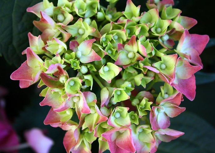 Hydrangea Flower Greeting Card featuring the photograph Hydrangea by LC Linda Scott