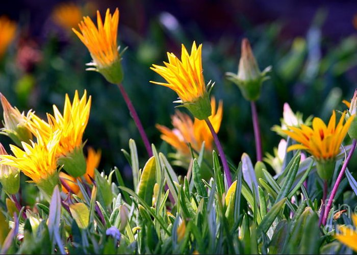 carpobrotus Chilensis Greeting Card featuring the photograph Ice Plant by Henrik Lehnerer
