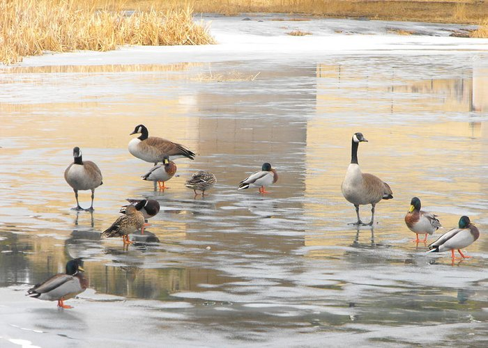 Ducks Greeting Card featuring the photograph Ice Skating Geese by Phyllis Britton