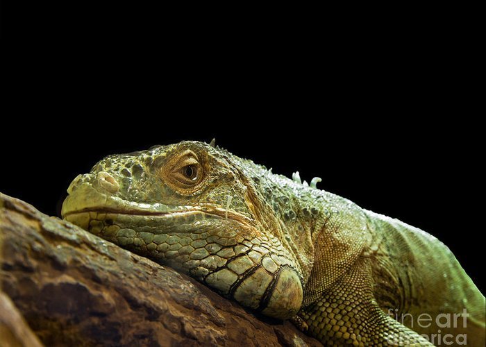 Animal Greeting Card featuring the photograph Iguana by Jane Rix