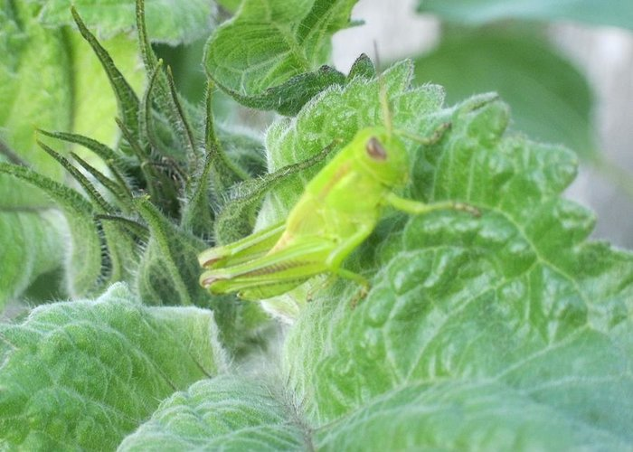 Grasshopper Greeting Card featuring the photograph I'm A I'm A I'm A Chameleon by Tracy Fallstrom