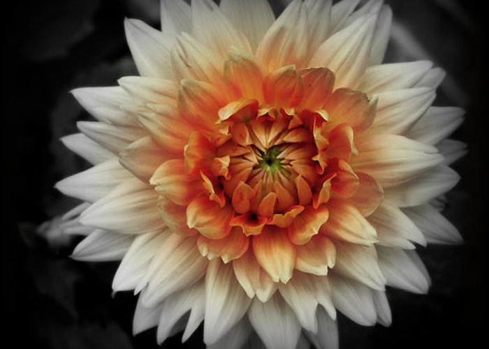 Flower Black And White Greeting Card featuring the photograph In Bloom by Brian Seidenfrau