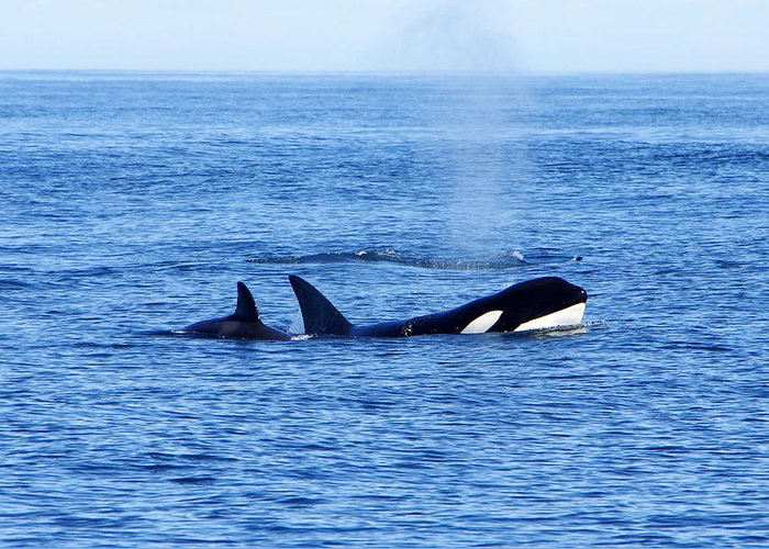 Orca Greeting Card featuring the photograph In The Great Wide Ocean by Marilyn Wilson