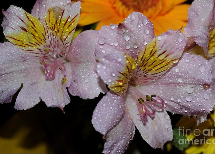 Inca Lily Greeting Card featuring the photograph Inca Lily by Patrick Short
