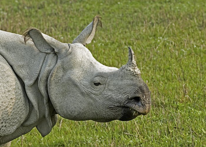 Rhinoceros Unicornis Greeting Card featuring the photograph Indian Rhinoceros by Tony Camacho