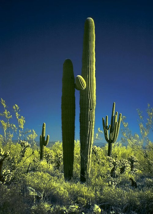 Infrared Greeting Card featuring the photograph Infrared Saguaro 1 by Jim Painter