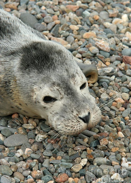 Fauna Greeting Card featuring the photograph Injured Harbor Seal by Ted Kinsman