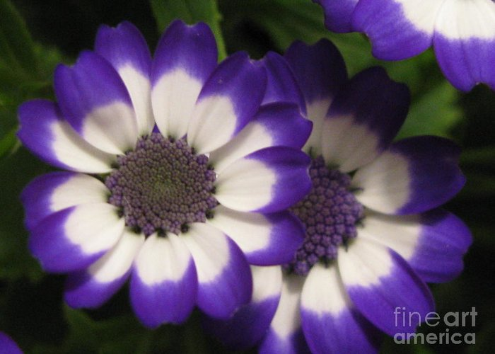 Flower Greeting Card featuring the photograph Innocent by Tina Marie