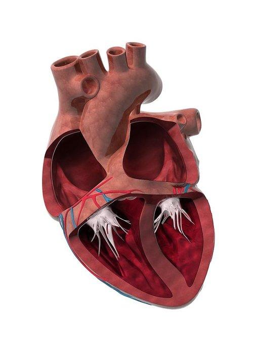Heart Greeting Card featuring the photograph Internal Heart Anatomy, Artwork by Claus Lunau