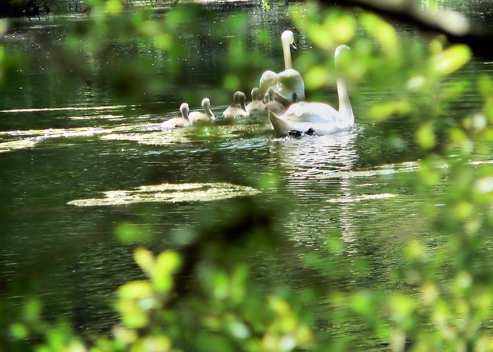 Swans Greeting Card featuring the photograph Into The Shadows by Janice Drew