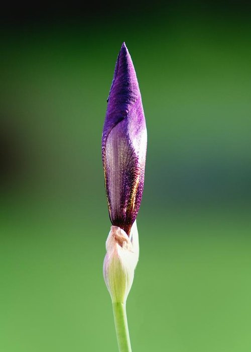 Fine Art Prints Greeting Card featuring the photograph Iris 12 by Nathan Larson