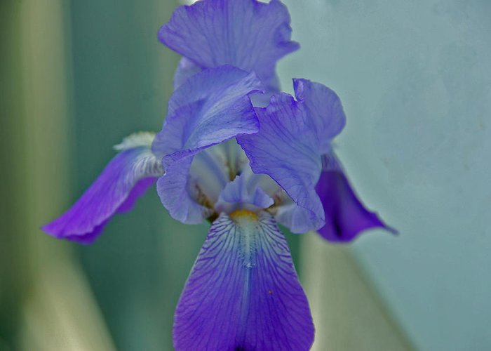 Iris Greeting Card featuring the photograph Iris I by Julie Thurgood
