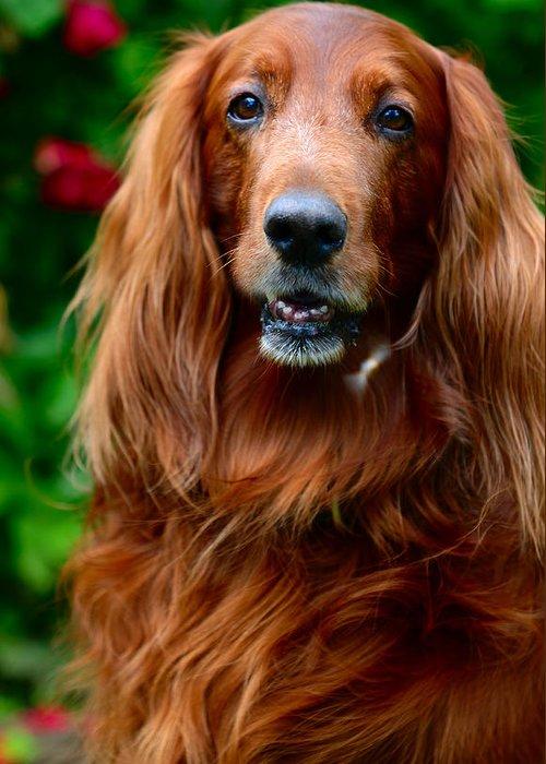Dog Greeting Card featuring the photograph Irish Setter I by Jenny Rainbow