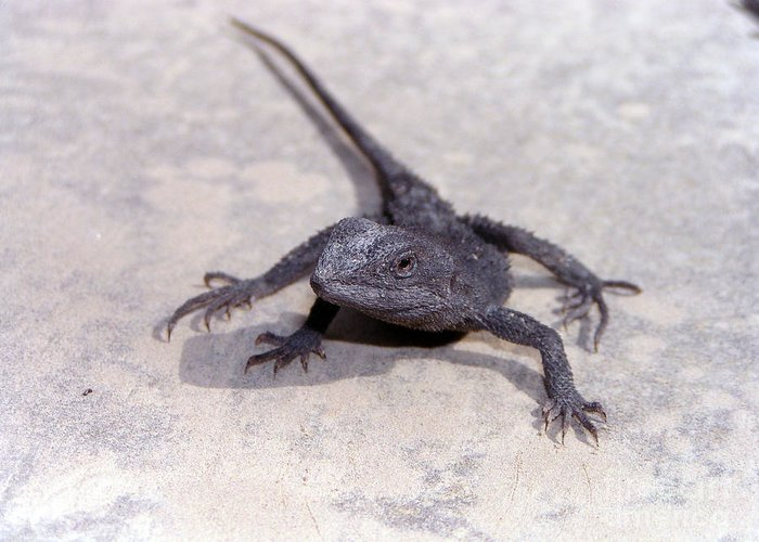 Skink Photographs Greeting Card featuring the photograph Jacky Lizard by Joanne Kocwin