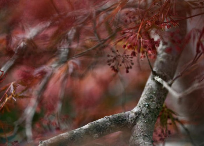 Plants Greeting Card featuring the photograph Japanese Maple Blur by Janice M LeCocq