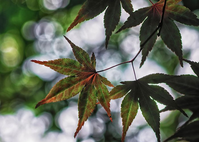 Da*55 1.4 Greeting Card featuring the photograph Japanese Maple by Lori Coleman