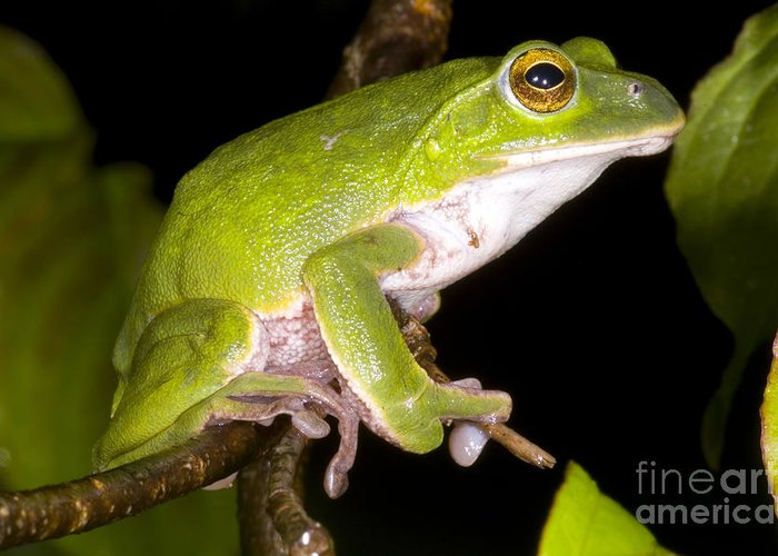 Rhacophoridae Greeting Card featuring the photograph Japanese Rhacophoprid Frog by Dante Fenolio