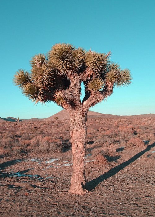 Greeting Card featuring the photograph Joshua Tree by Naxart Studio