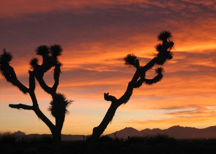Joshua Greeting Card featuring the photograph Joshua Trees In The Sunset by Berta Barocio-Sullivan