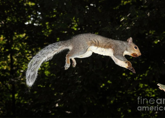 North American Fauna Greeting Card featuring the photograph Jumping Gray Squirrel by Ted Kinsman