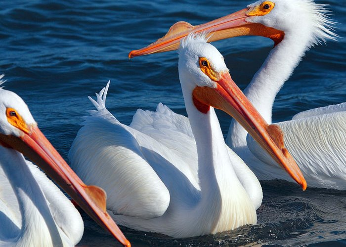 American White Pelican Greeting Card featuring the photograph Just Hanging Out by Andrew McInnes