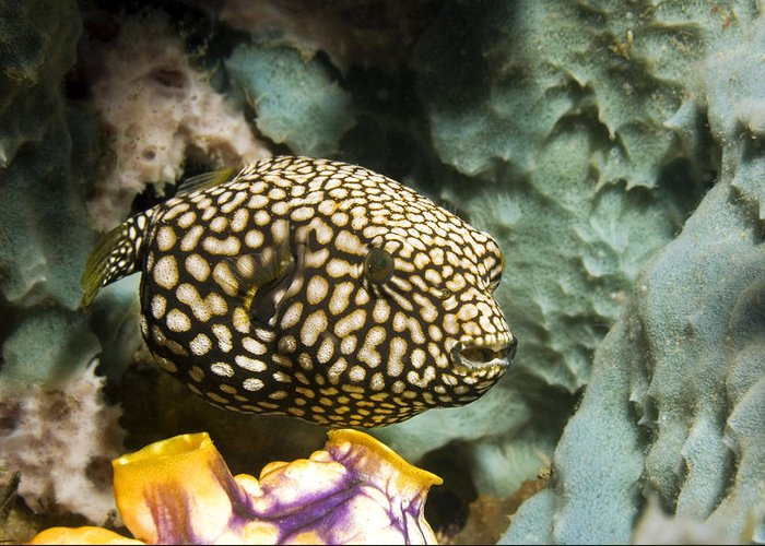 Map Pufferfish Greeting Card featuring the photograph Juvenile Map Pufferfish by Georgette Douwma