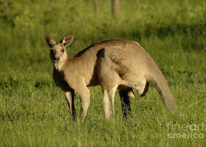 Kangaroo Greeting Card featuring the photograph Kangaroo Male by Bob Christopher
