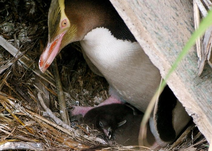 Yellow Eyed Penguin Greeting Card featuring the photograph Keeping An Eye by Johanne Peale