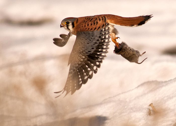 Kestral Greeting Card featuring the photograph Kestral In Flight by Earl Nelson