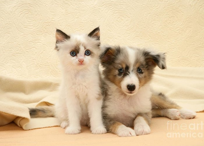 Birman Greeting Card featuring the photograph Kitten And Pup by Jane Burton