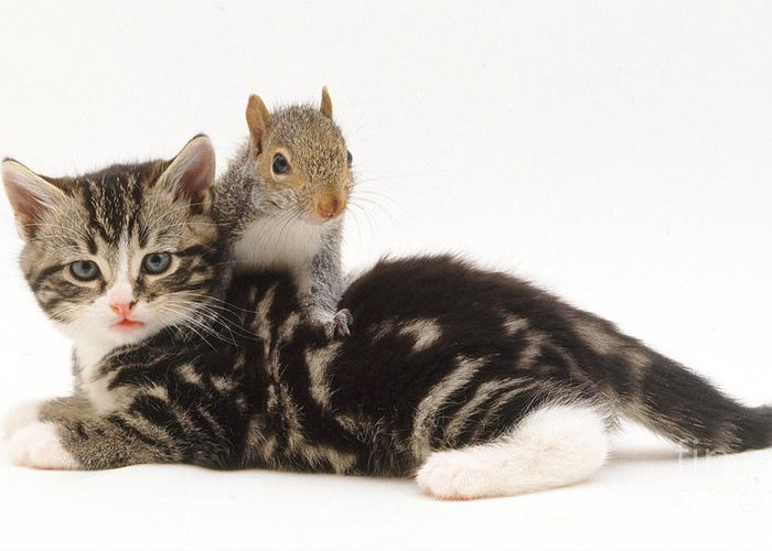 White Background Greeting Card featuring the photograph Kitten And Squirrel by Jane Burton