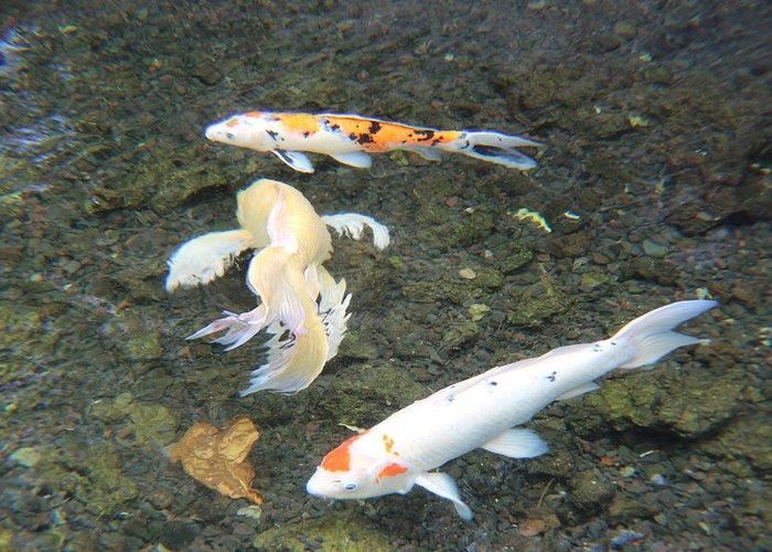 Koi Pond Greeting Card featuring the photograph Koi Fish by Raquel Amaral