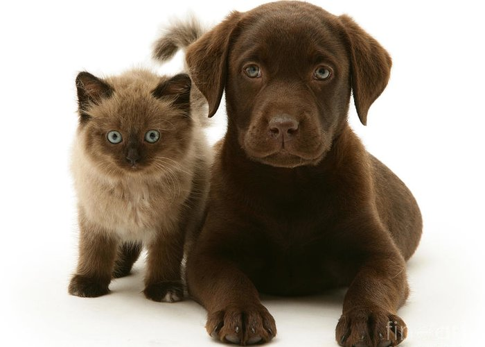 White Background Greeting Card featuring the photograph Labrador Pup And Birman-cross Kitten by Jane Burton