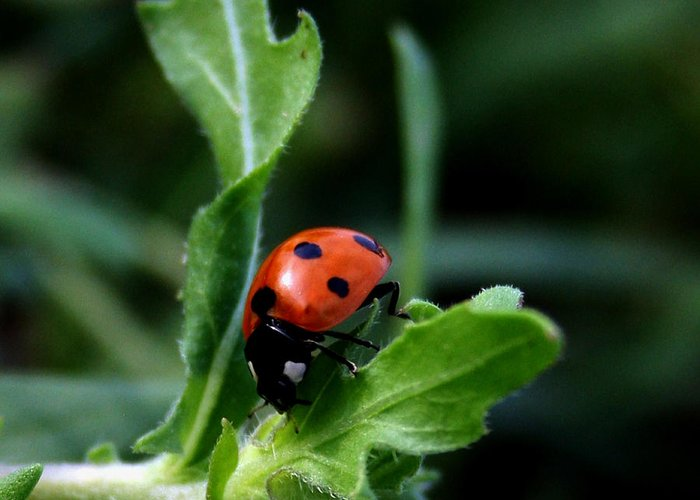 Insect Greeting Card featuring the photograph Lady Bug by Karen Harrison