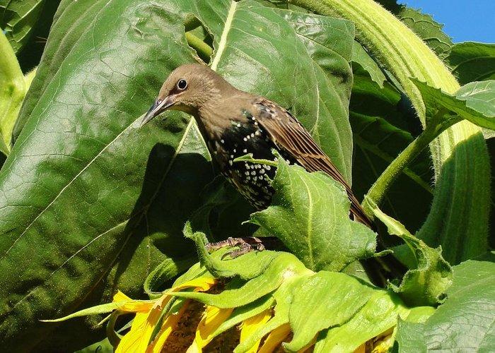 Sunflower Starling Bird Birds Maine Greeting Card featuring the photograph Ladybird Starling On A Sunflower by Katie Bauer