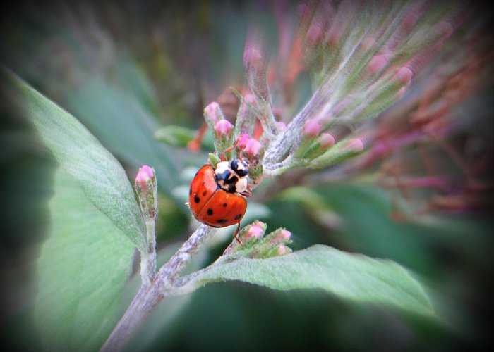 Bug Greeting Card featuring the photograph Ladybug by Brenda Conrad