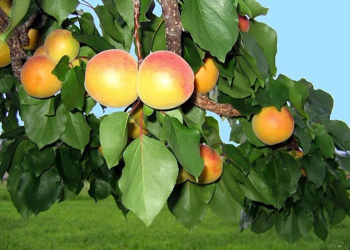 Apricots Greeting Card featuring the photograph Lake Country Apricots by Will Borden