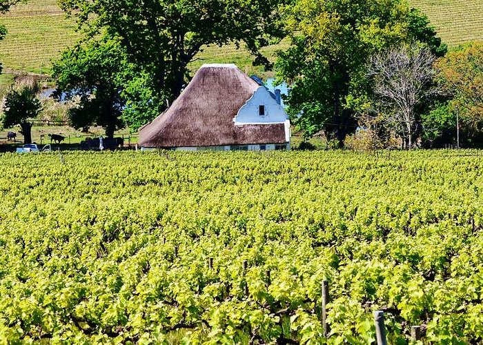 Landscape; Vineyard; Wine Lands; Stellenbosch; South Africa; Thatch; Wine Field; Cape Duch House; Green; Plants; Leaf; Stem; Trees; Meadow; Spring; Background; Greeting Card featuring the photograph Landscape With Vineyard by Werner Lehmann
