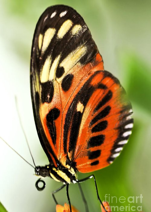 Danaidae Greeting Card featuring the photograph Large Tiger Butterfly by Elena Elisseeva