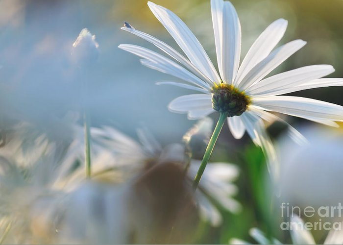 Photography Greeting Card featuring the photograph Late Sunshine On Daisies by Kaye Menner