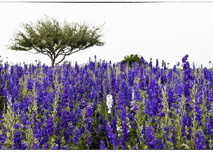 Lavender Greeting Card featuring the photograph Lavender Field by Lisa Spencer
