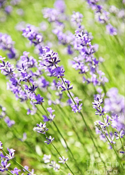 Lavender Greeting Card featuring the photograph Lavender In Sunshine by Elena Elisseeva