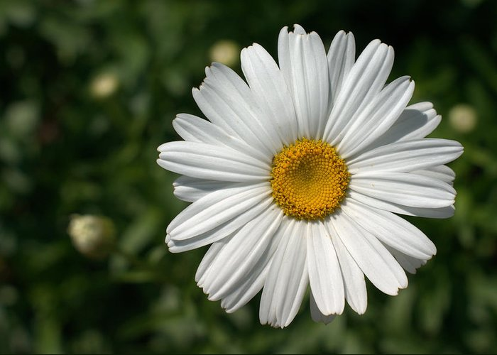 Daisy Greeting Card featuring the photograph Lazy Eye by GuitarGeeks Photography